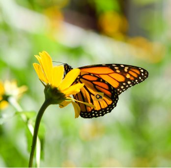UIC leads largest nationwide effort to protect the monarch butterfly